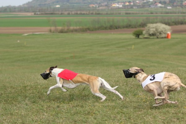 Coursing in Oesterreich