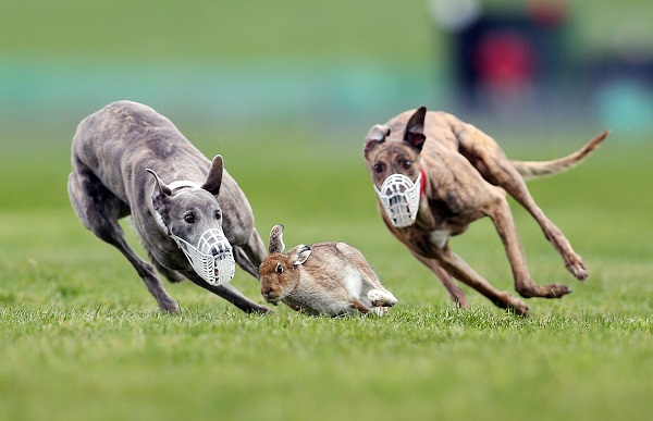 Image: County Limerick Irish Coursing Cup